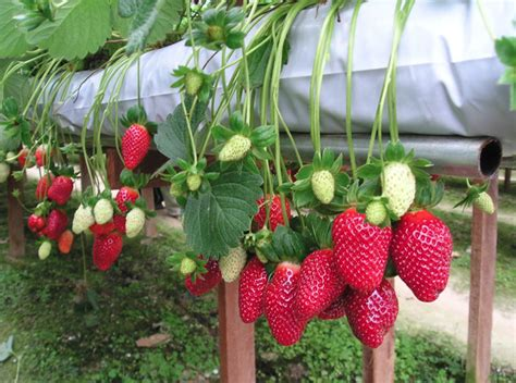 Strawberry Garden by The Fruit Garden