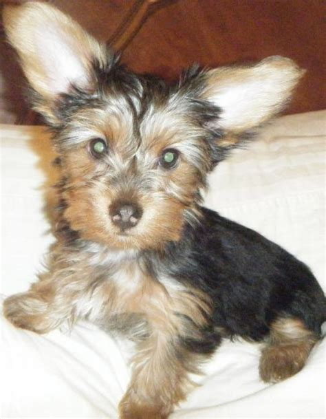 how big are teacup yorkies how big are yorkie puppies yorkie puppies with big ears breeds picture