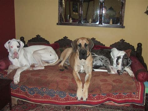 fawn great dane puppies for sale fawn vanmore great dane for sale 13mths lowestoft suffolk pets4homes