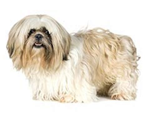 shichon with long hair shih tzu breed information