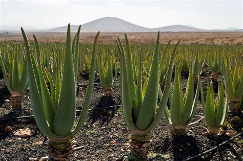 aloe coltivazione in vaso come coltivare aloe vera idee green