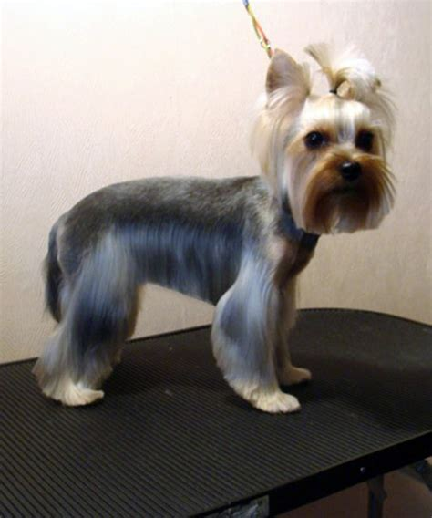 yorkie hairstyles yorkie haircut exles yorkie haircut pics pictures of yorkies picture dog