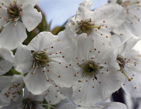 Cherry White file white cherry blossom 4551208506 jpg