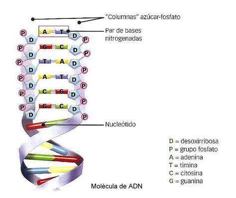 cadenas adn y arn biolog 205 a 3 186 secundaria el adn como la mol 233 cula portadora