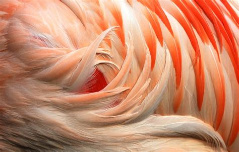 flamingo feathers wallpaper wallpaper macro flamingo feathers flamingo color