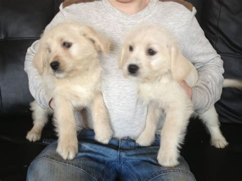 mini doodle puppies colorado mini goldendoodle rescue colorado breeds picture