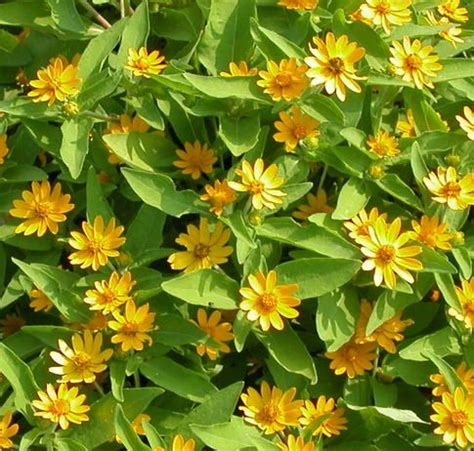 heat tolerant plants 24 best images about annuals sunny drought tolerant