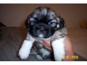 shih tzu puppies for sale in milwaukee wi shih tzu puppies in wisconsin