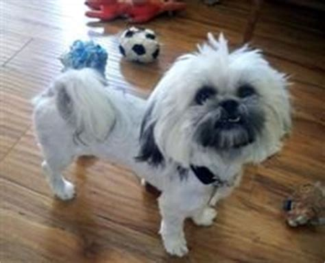 dog haircuts austin 1000 images about barkley shih tzu hair cuts on pinterest