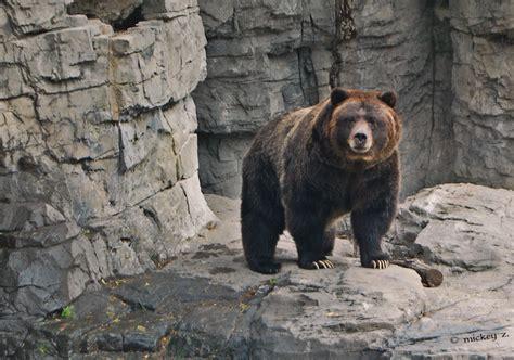 atlas bears  world  atlas bears mickey