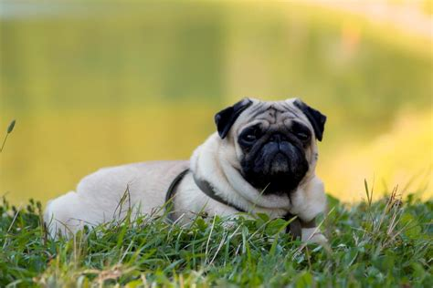 how to a pug to outside this pug is enjoying the warm weather about pug