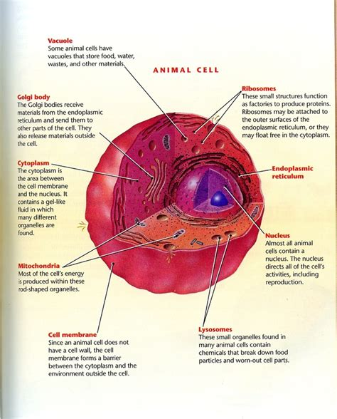 cell labeled diagram parts of an animal cell 3d www pixshark images