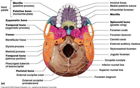 skull diagram labeled principles of human anatomy and physiology chapter 7