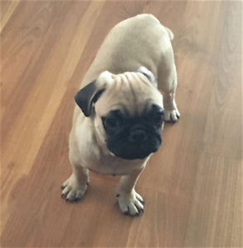 Pugs Adopt Local Dogs Puppies In Ontario Kijiji Classifieds Page 2