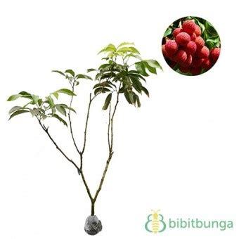 Bibit Buah Lychee Kom tanaman leci kom lychee bibitbunga