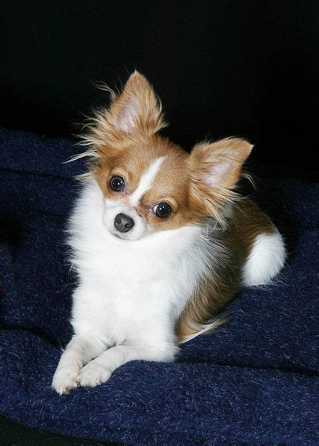 best 25 haired chihuahua ideas on