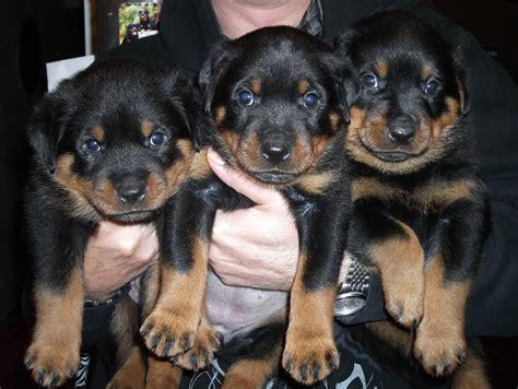 rottweiler puppies 5 weeks braxenburg rottweilers ch vasfors lufthansa v drakengard x hanbar