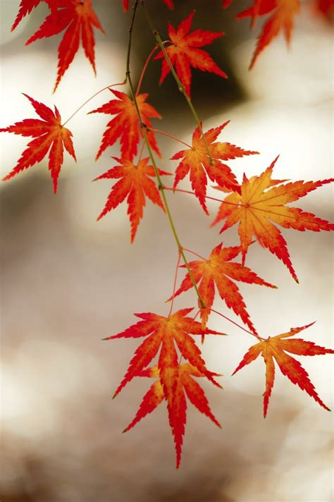 201 rable du japon planter et tailler ooreka