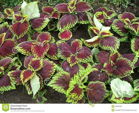 colourful foliage plants colorful foliage coleus abigail stock photo image 42693350