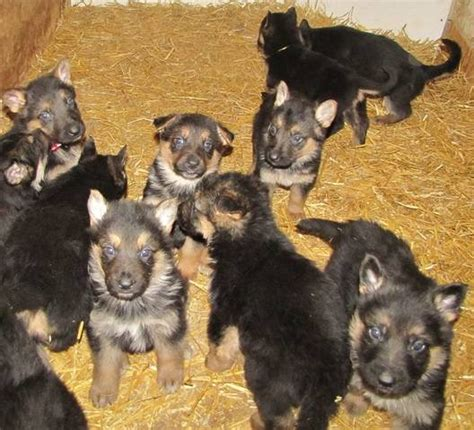 purebred german shepherd puppies for adoption purebred german shepherd puppies for sale adoption from woodstock ontario oxford