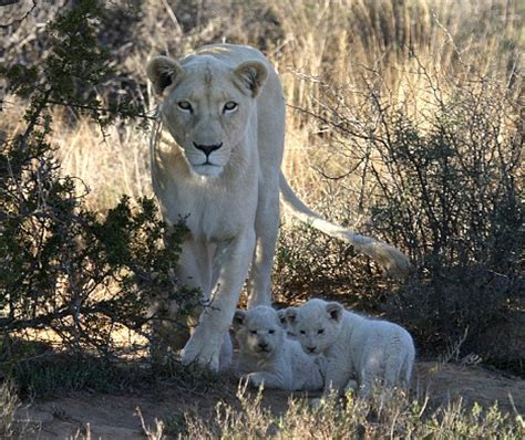 pictured rare images   beautiful white lions