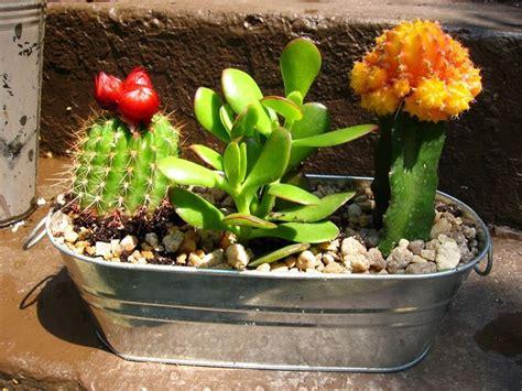vasi per cactus piante grasse cactus piante grasse il cactus e le