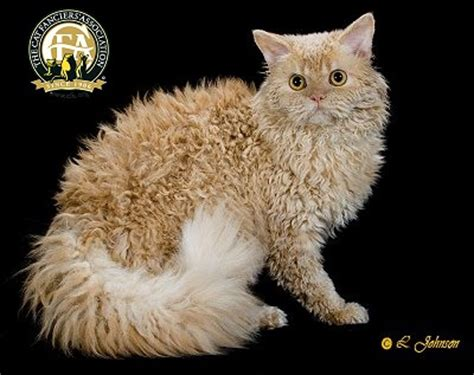 breed profile: the selkirk rex
