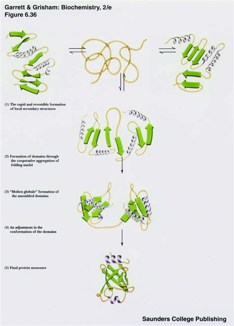 protein folding protein folding structural model