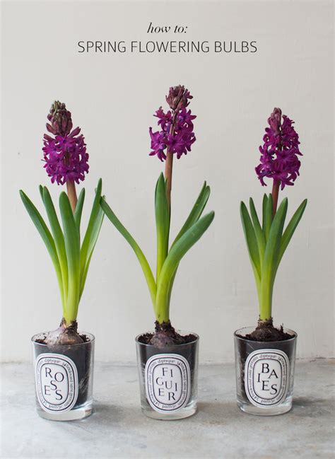 how to spring flowering bulbs a pair a spare