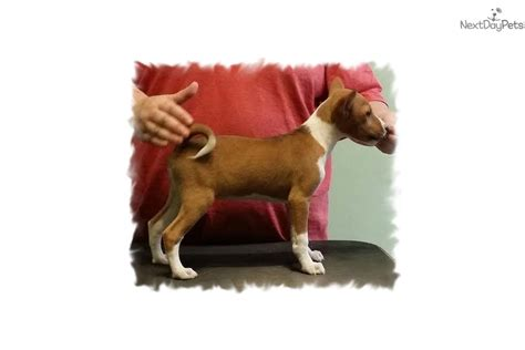 basenji puppies for sale near me basenji puppy for sale near salem oregon 36539d87 29c1