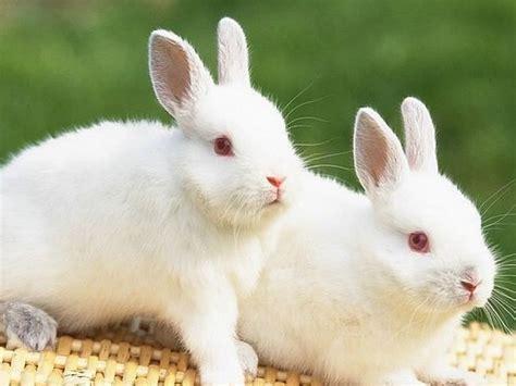 imagenes wallpapers hd animales dos hermosos y encantadores conejos lindos hd animal fondo
