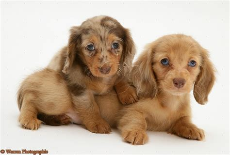 mini doxie puppies puppy dogs miniature dachshund puppies