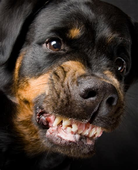 are rottweilers aggressive by nature vicious vs dangerous dogs in bite lawsuits expert