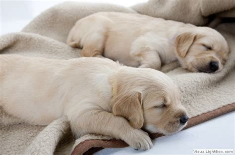 golden retriever sleeping golden retriever pictures