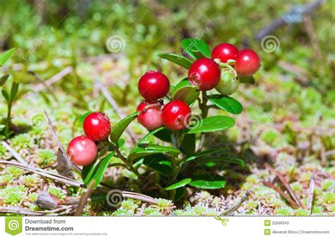 lingonberry shrub with berries stock photos image 22699343