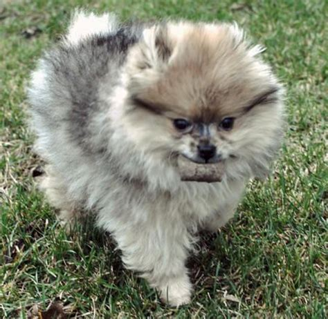 pomeranian to buy 1000 images about poms on teacup pomeranian black pomeranian and