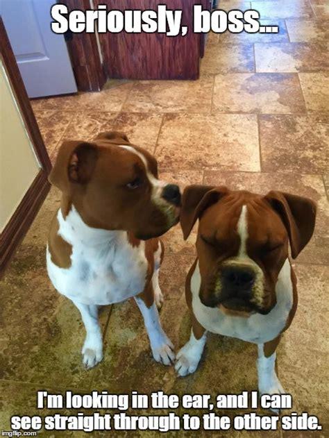 Funny Boxer Dog Memes - funny dog meme boxer