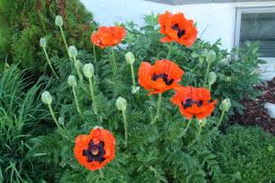 poppy plants pictures images frompo 1