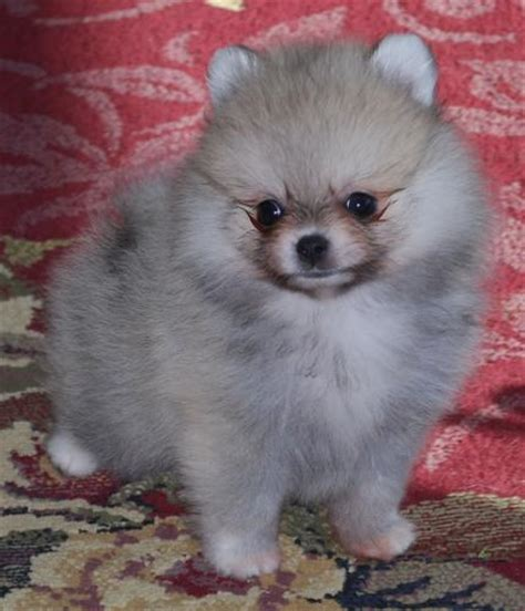 pomeranian for sale tx pomeranian puppies for sale in