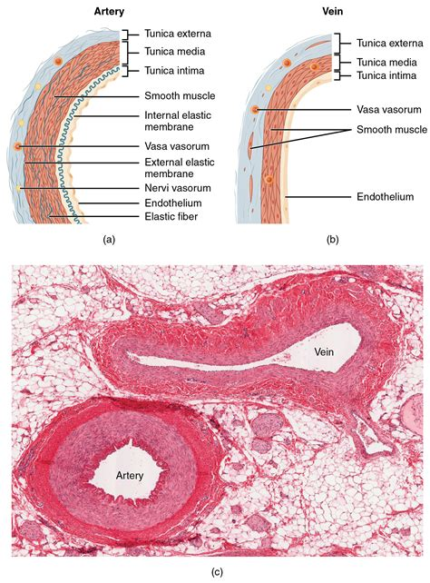 blood vessel cross section structure and function of blood vessels 183 anatomy and
