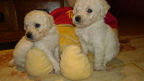 labradoodles puppies for sale west sussex beautiful f2 labradoodle puppies horsham west sussex