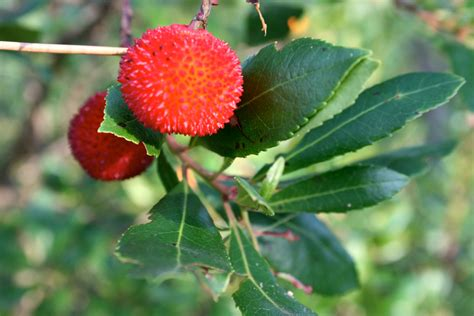 trees fruit strawberry tree fruit salyal