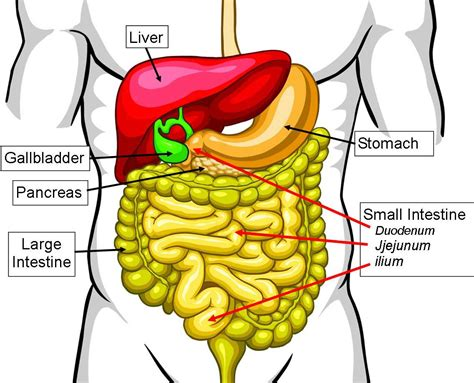 what is the first section of the small intestine small intestine diagram clipart best