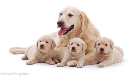 golden retriever puppies sacramento area golden retrievers photo breeds picture