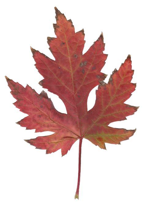 file autumn silver maple leaf jpg wikimedia commons