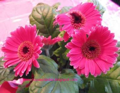 flowering house plants attractive house plants 2015 flowering house plants