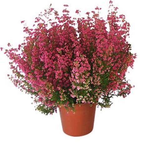 piante fiorite in inverno 10 piante da interno per inverno fiorite e resistenti