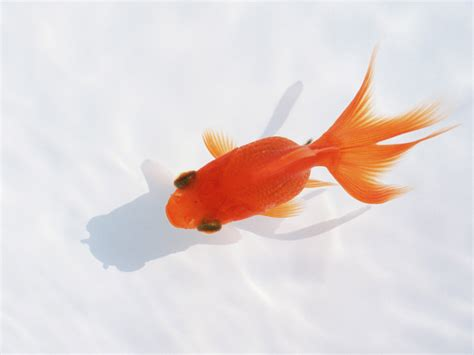 goldfish wallpaper goldfish wallpapers 2013 wallpapers