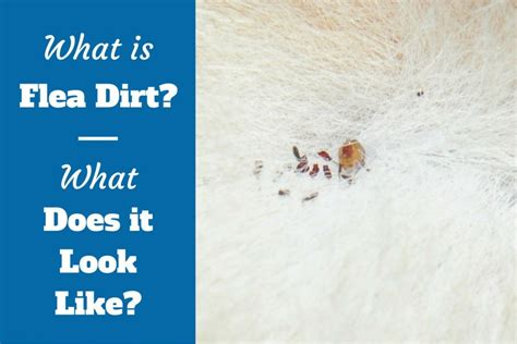flea dirt on dogs what is flea dirt what does it look like and how to remove it
