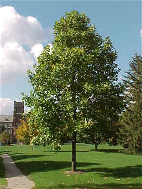 pin indiana state tree tulip poplar on pinterest tulip poplar trees and focal points pinterest yards